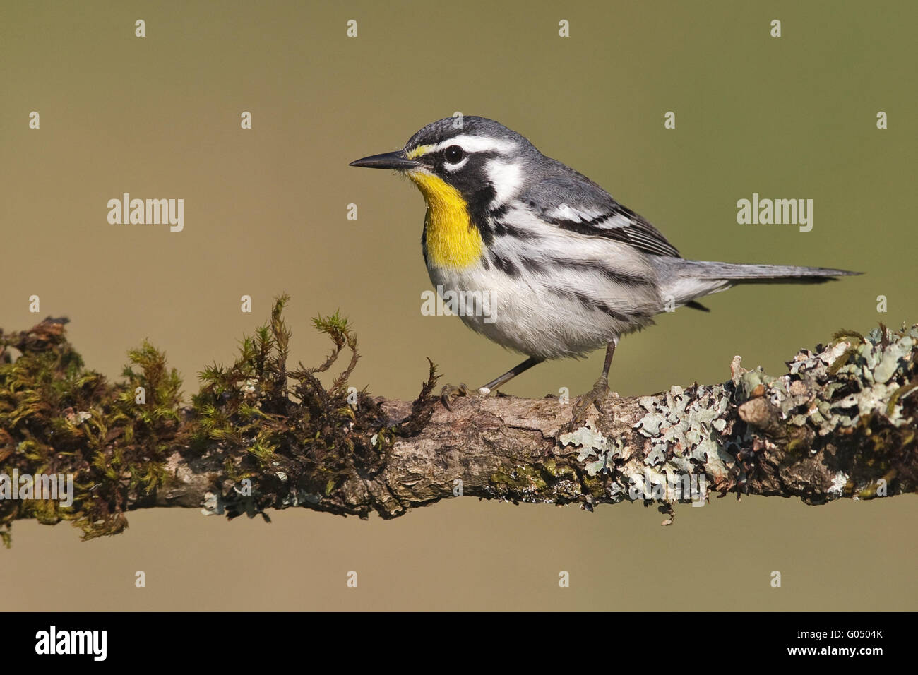 Yellow-throated Warbler - Setophaga dominica - Stock Image