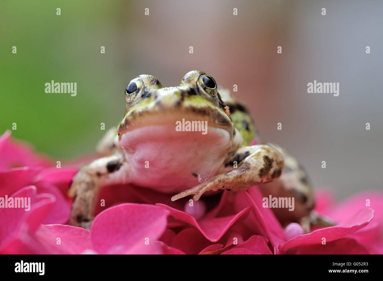grass frog - Stock Image