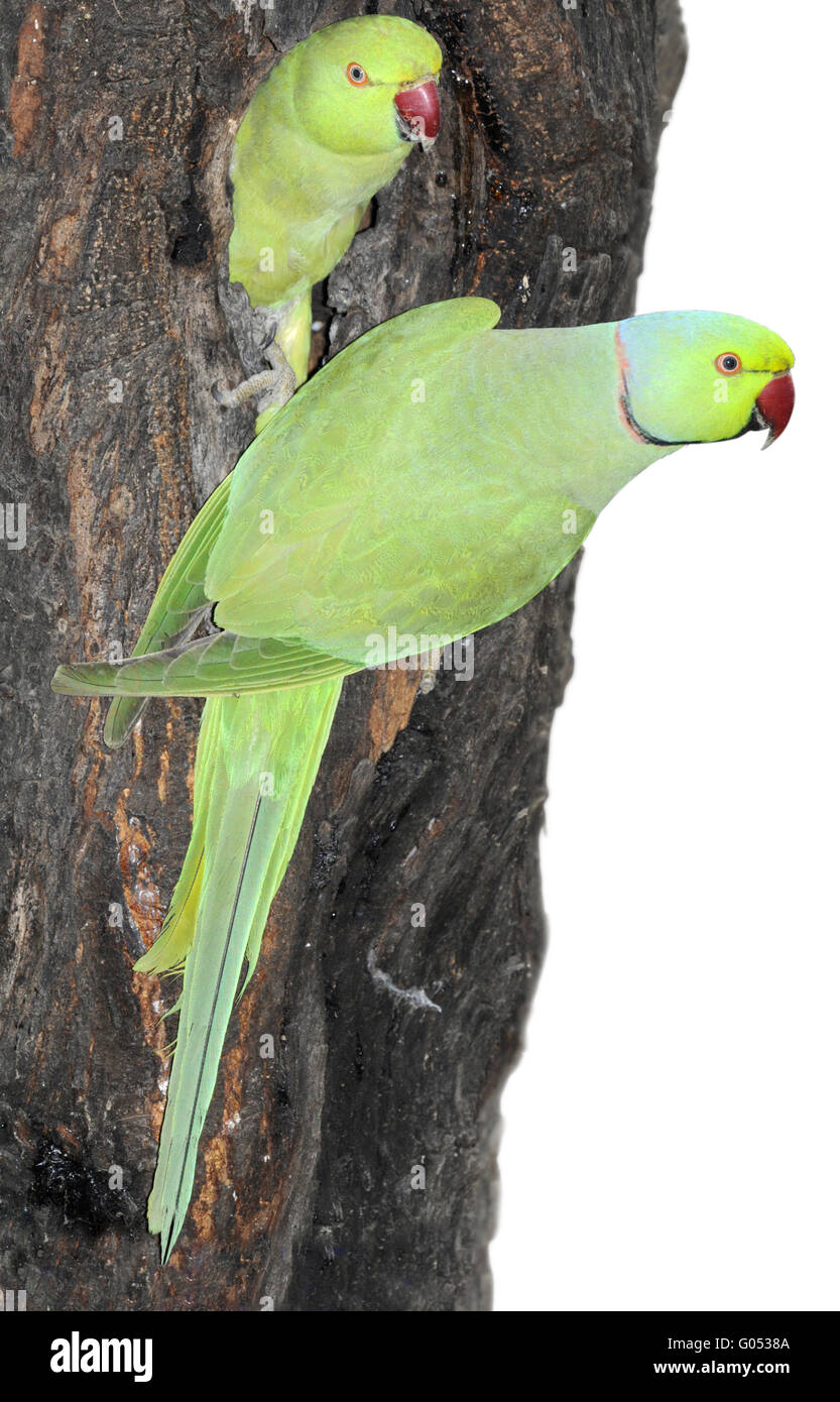 Ring-necked Parakeet - Psittacula krameri Stock Photo