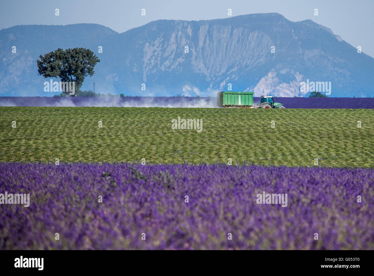 lavender field in the region of Provence, southern France Stock Photo