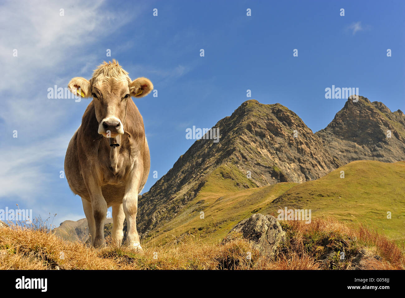 Cow… queen of the mountains - Stock Image