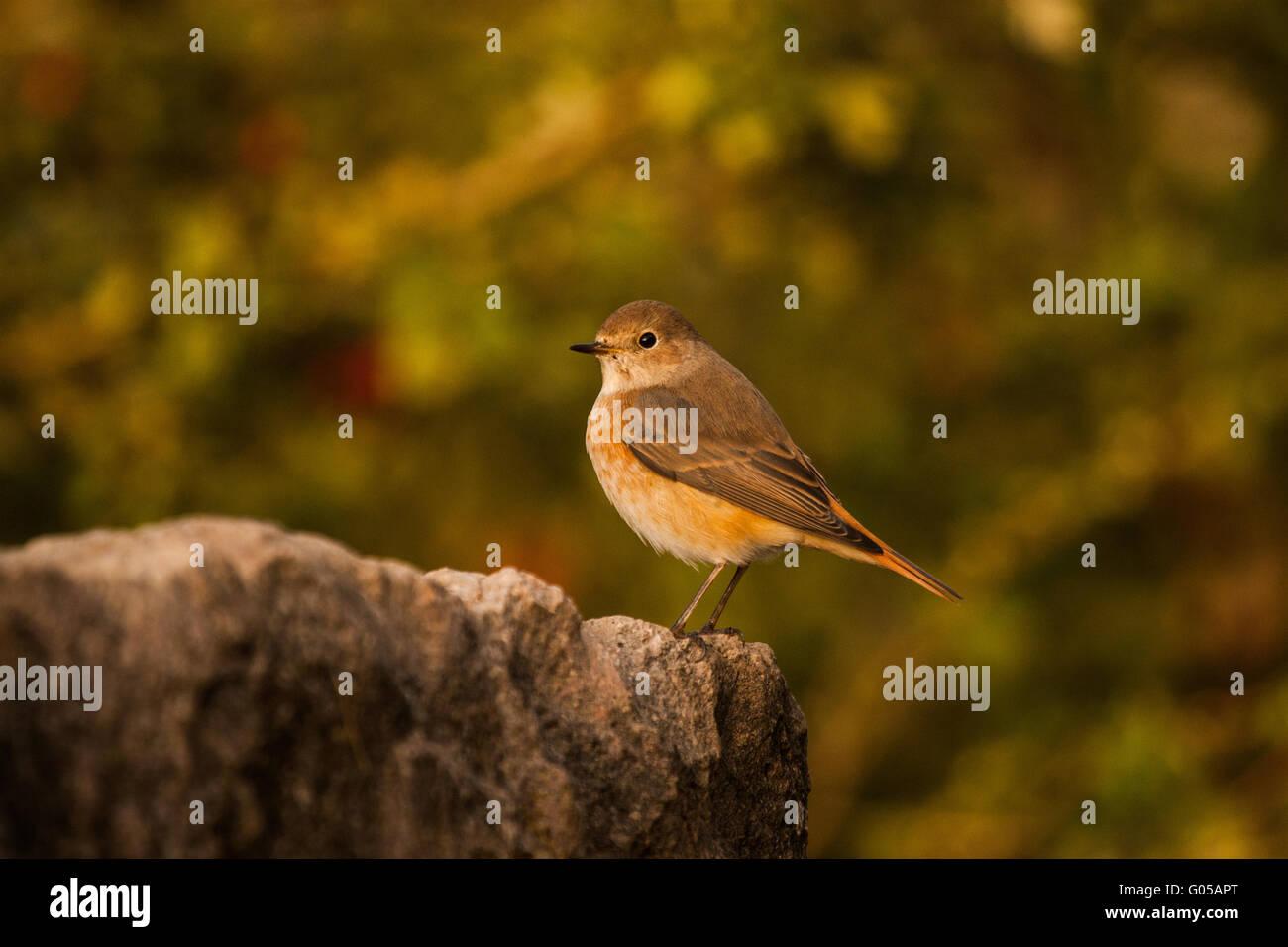 Common redstart (Phoenicurus phoenicurus) - Stock Image