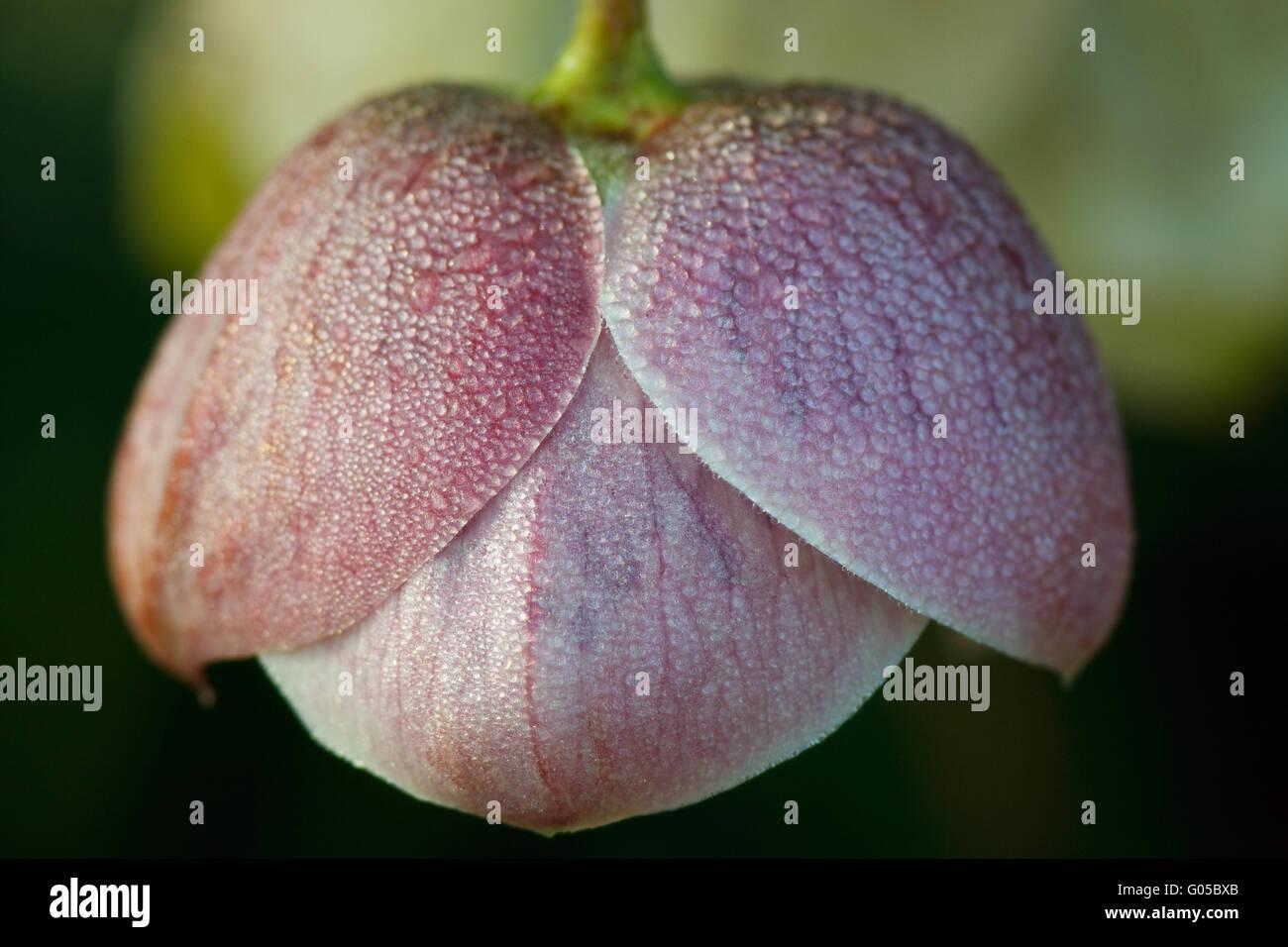 Flower Rosa Medusa Stock Photo