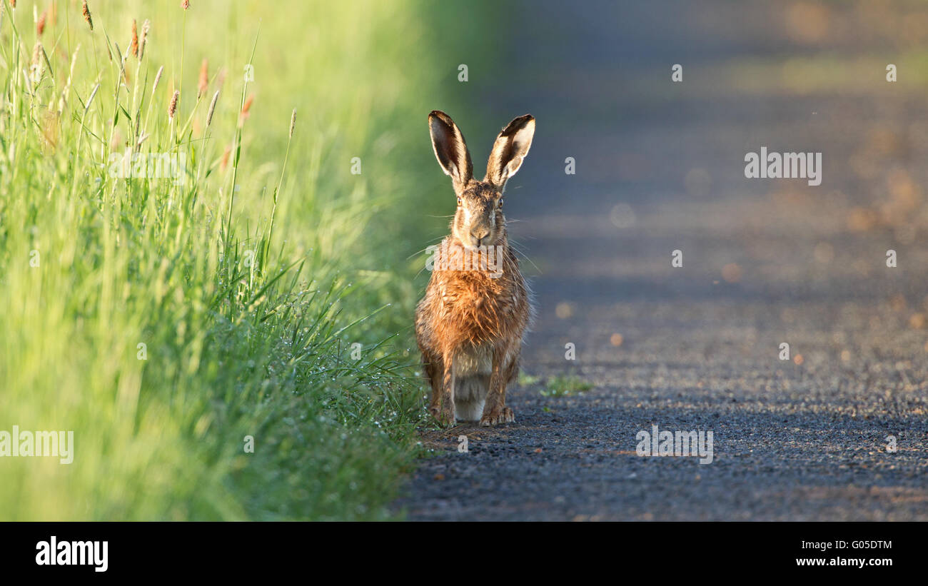 Brown Hare - Stock Image