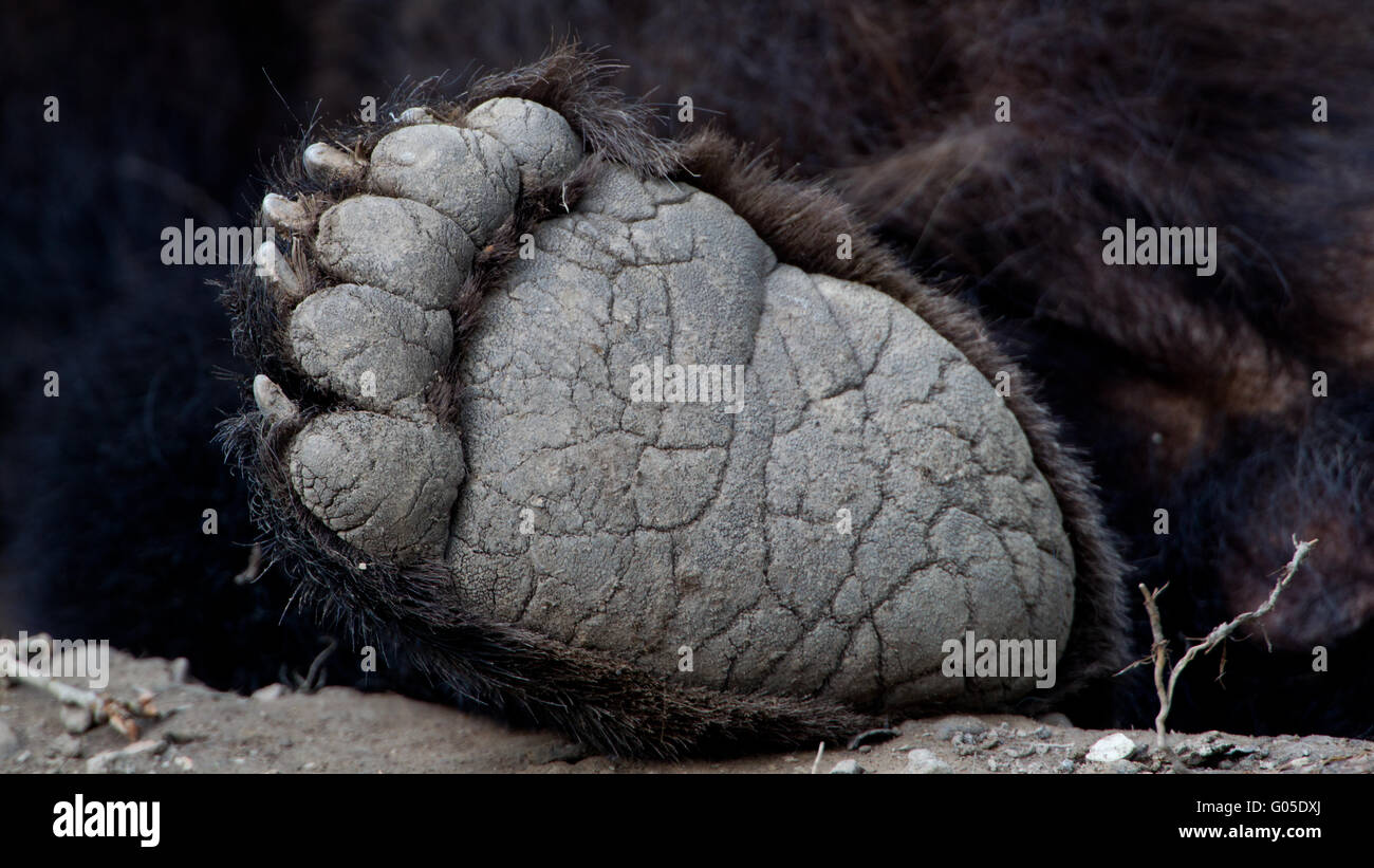 foot from brown bear Stock Photo
