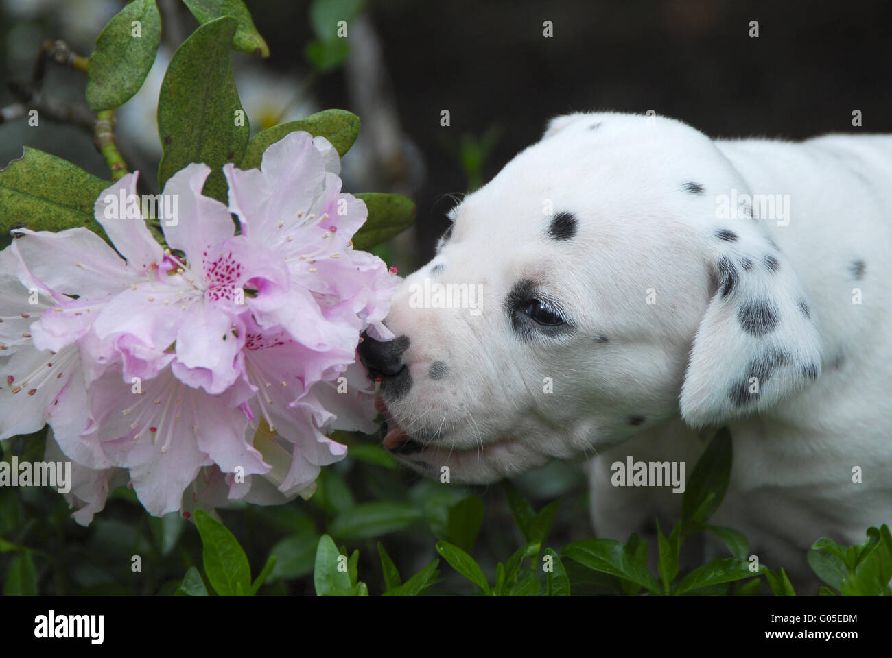 Dalmatian puppy, three weeks old smells at flowers - Stock Image
