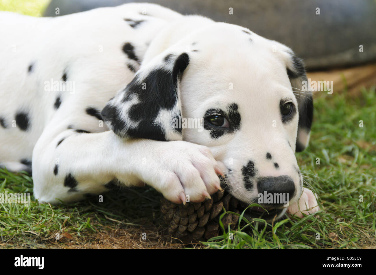 Dalmatian puppy, seven weeks old, portrait - Stock Image
