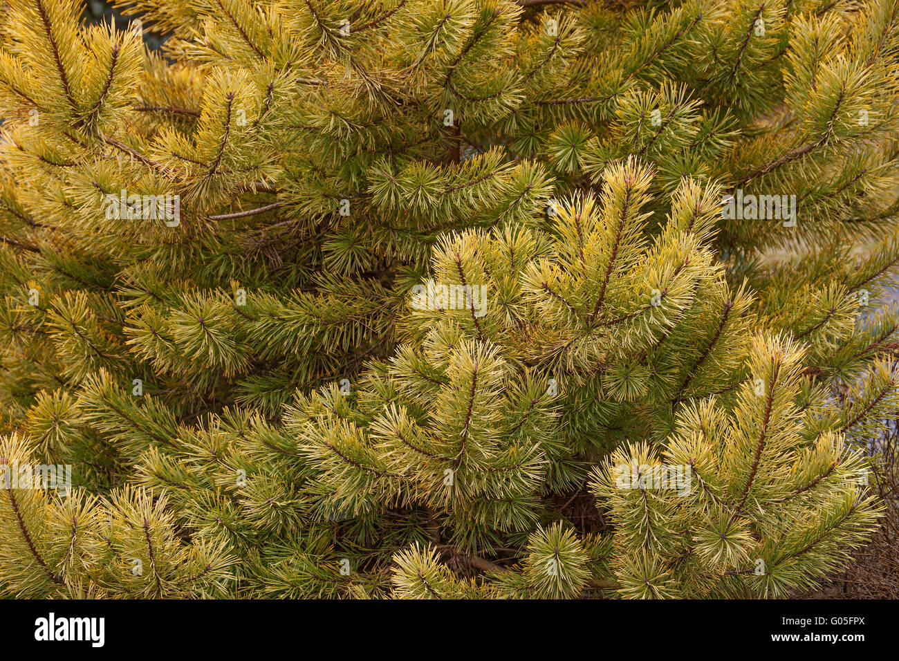 Gold coin golden scotch pine - Stock Image