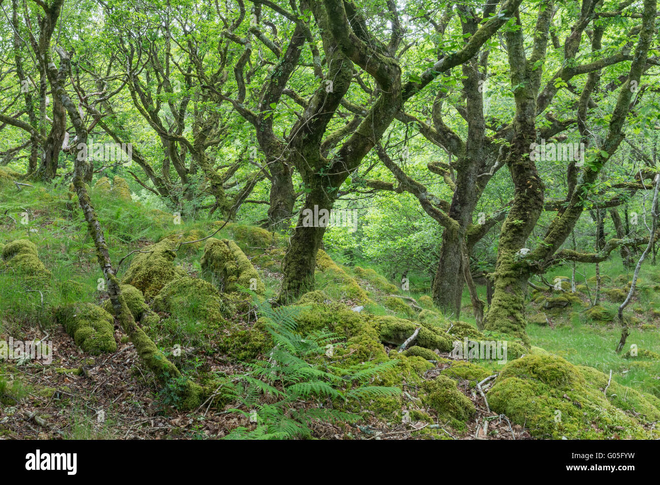 Ty Canol woods  - Pembrokeshire - Stock Image