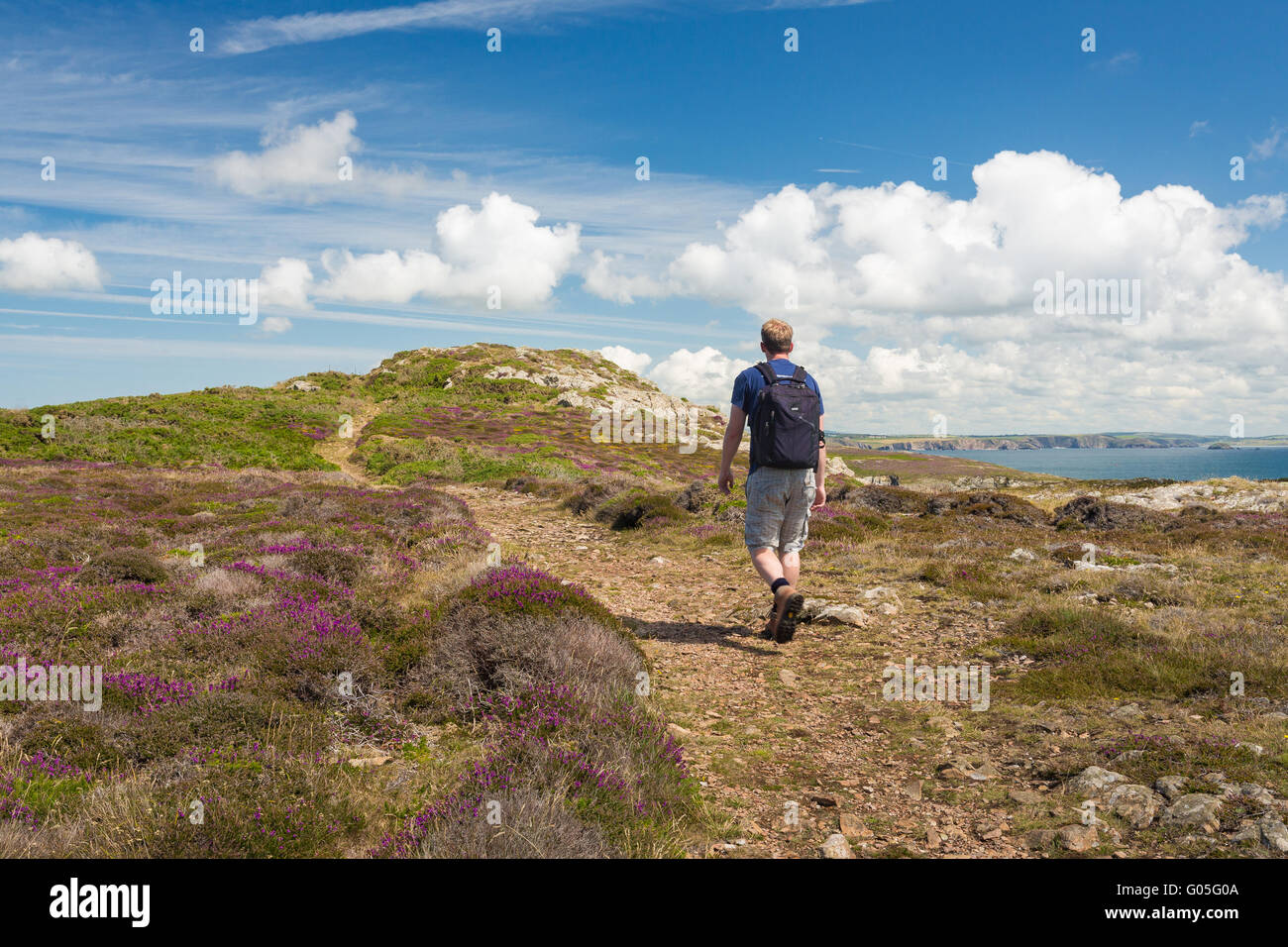 Walker pictured on the Pembrokeshire Coast Path through heather near to Treginnis - Pembrokeshire - Stock Image
