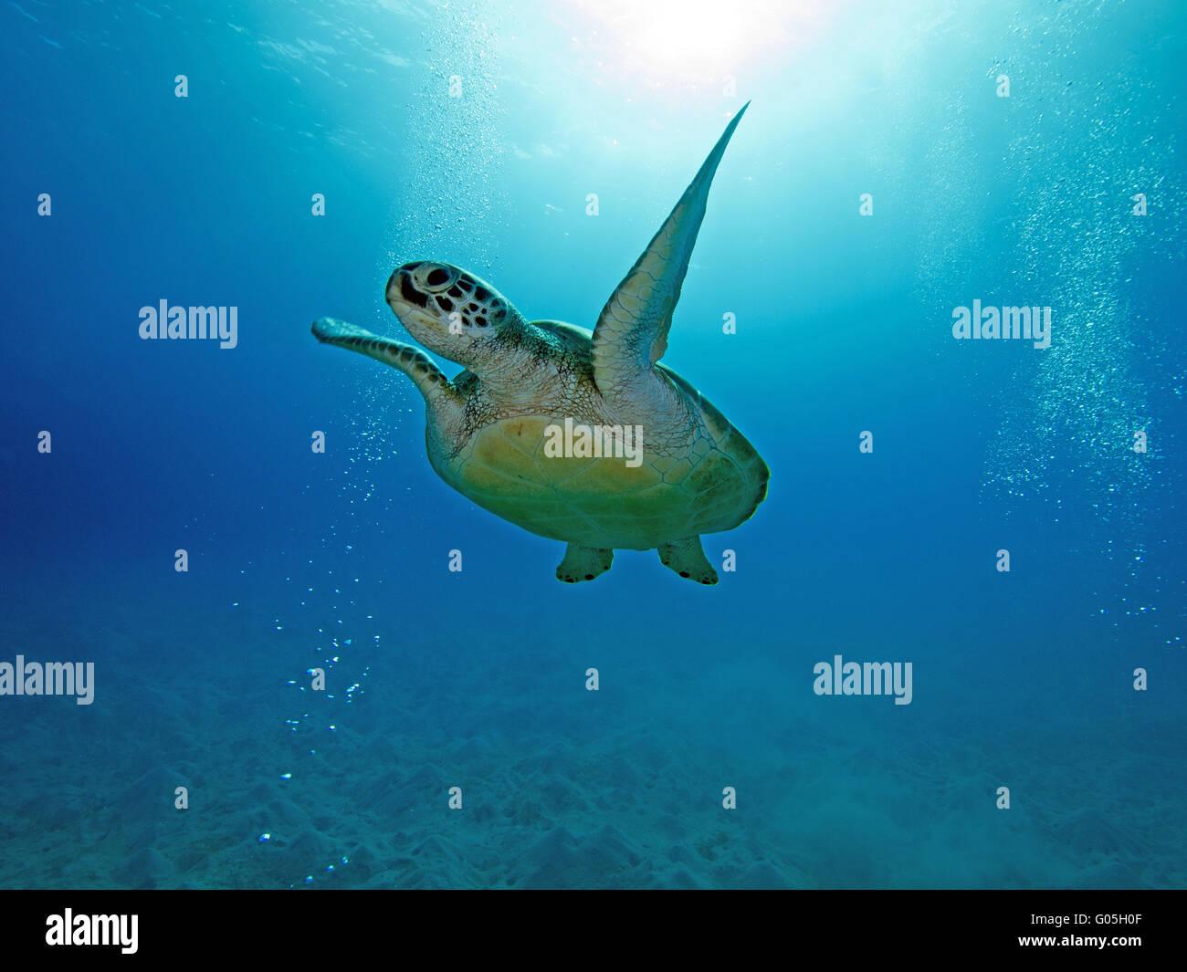 sea turtle - Stock Image