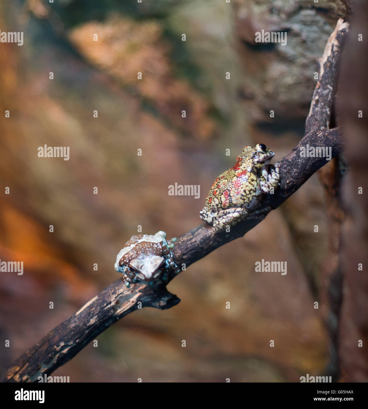 Frog tropical reptile amasonia jungles animal - Stock Image