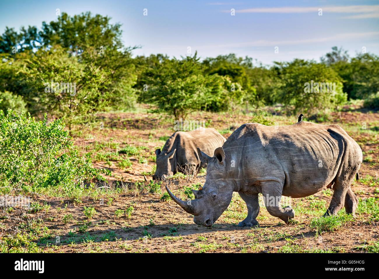 Southern white rhinoceros (Ceratotherium simum), Hluhluwe–Imfolozi Park, KwaZulu-Natal, South Africa - Stock Image