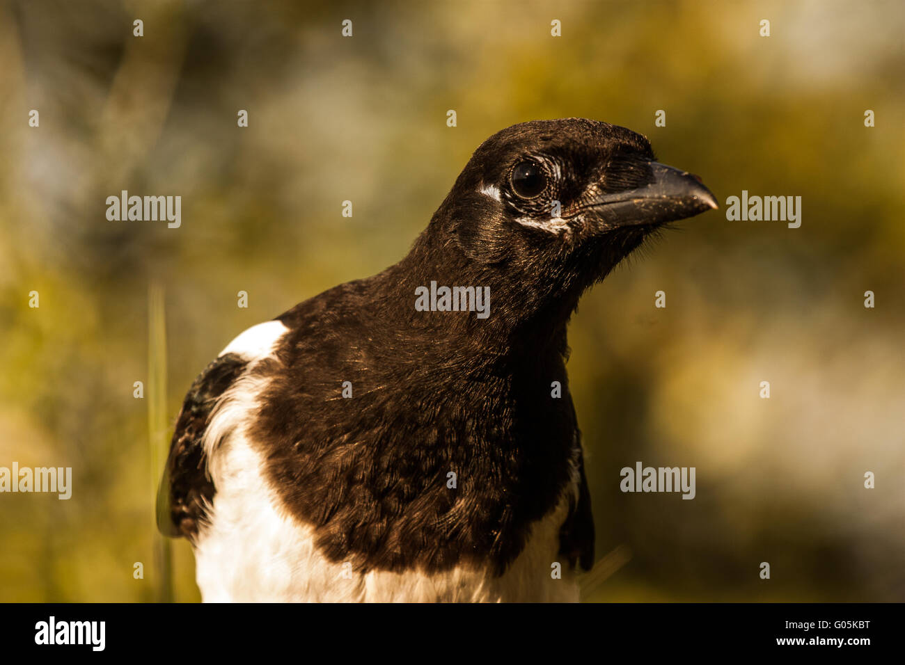 Young magpie (Pica pica) - Stock Image