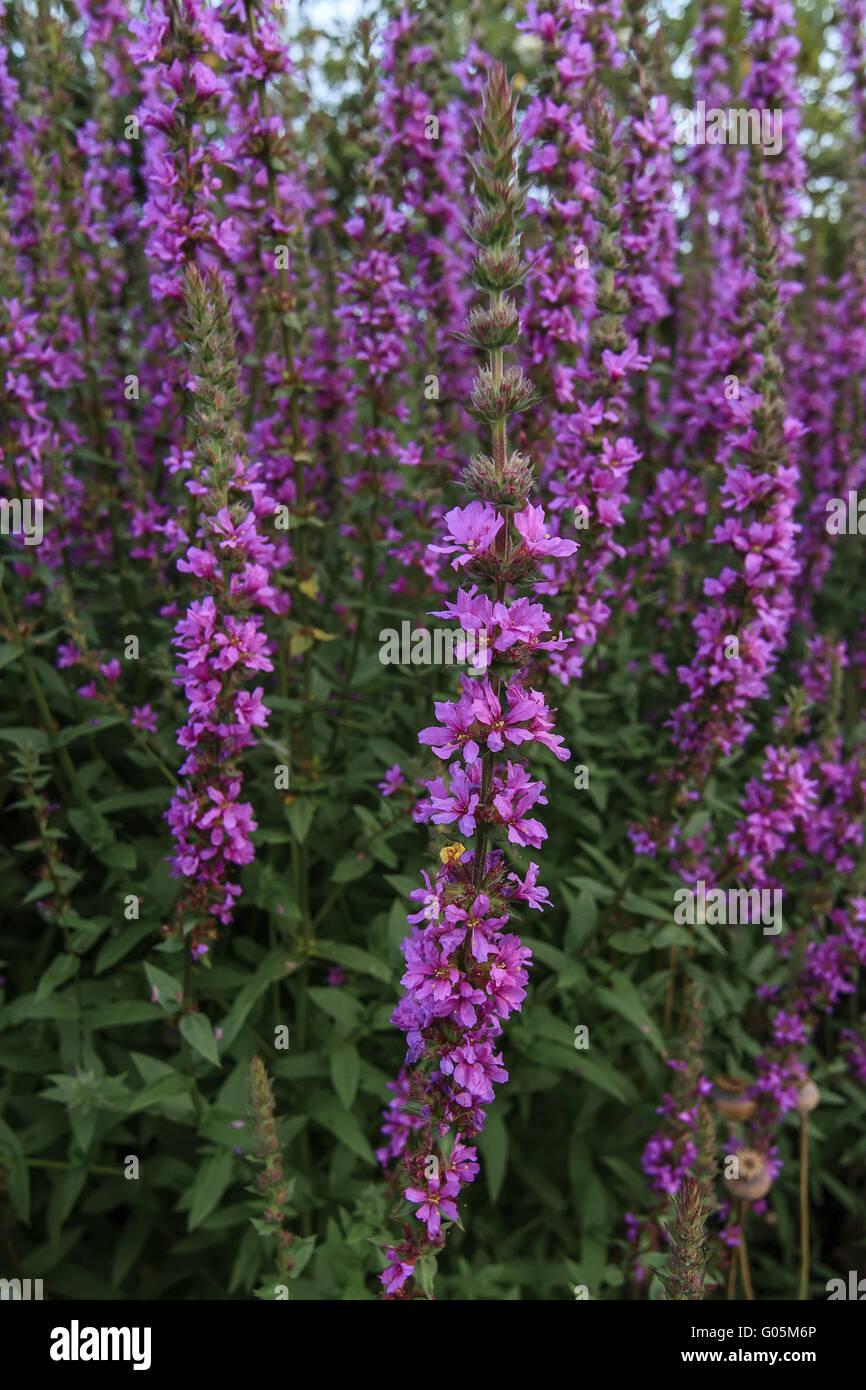 Purple Loosestrife Flowers (Lythrum salicaria ) UK - Stock Image