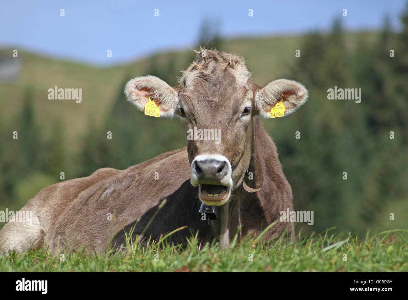 Cow resting on the mountain meadow - Stock Image