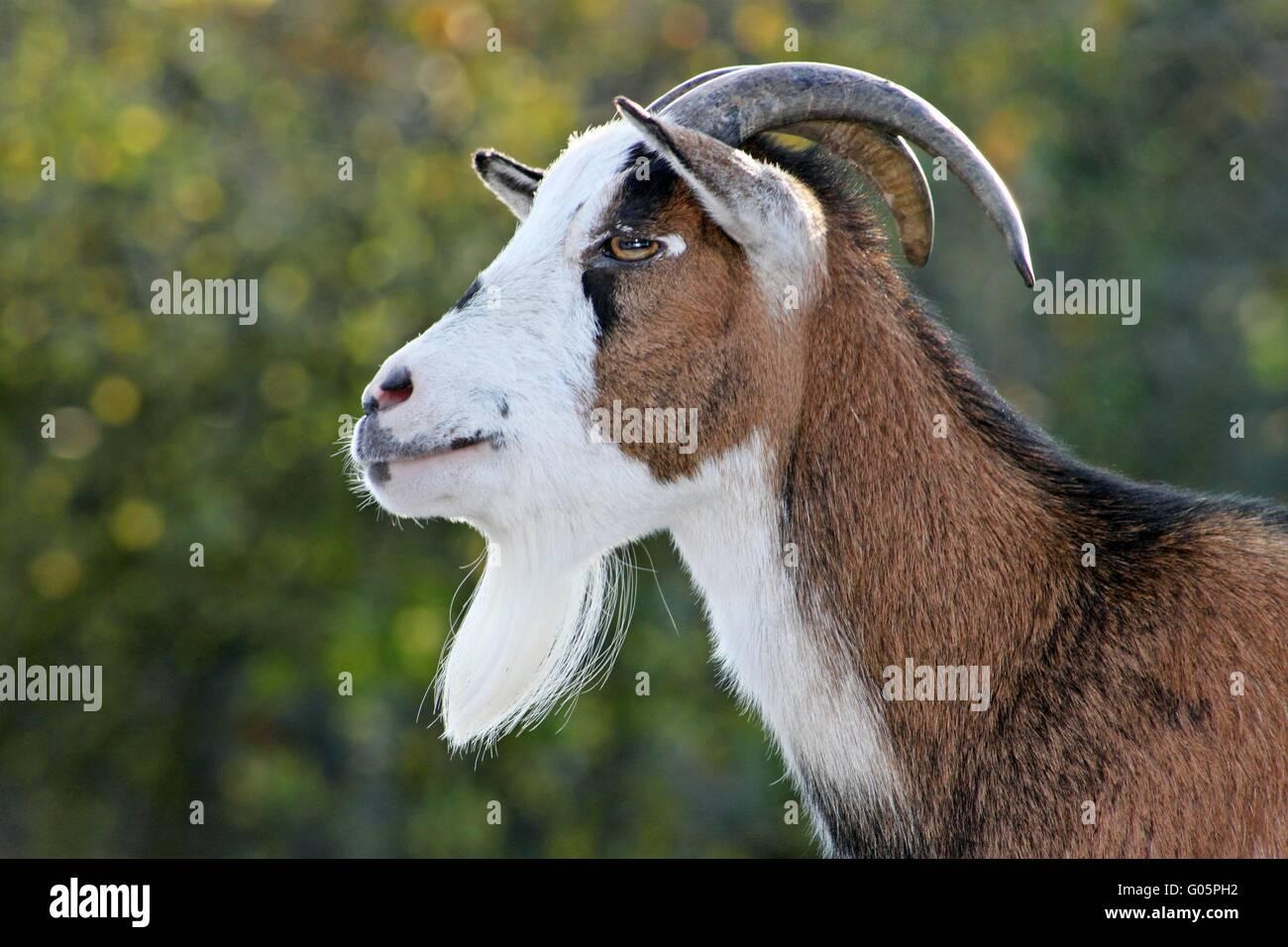 dwarf goat - Stock Image