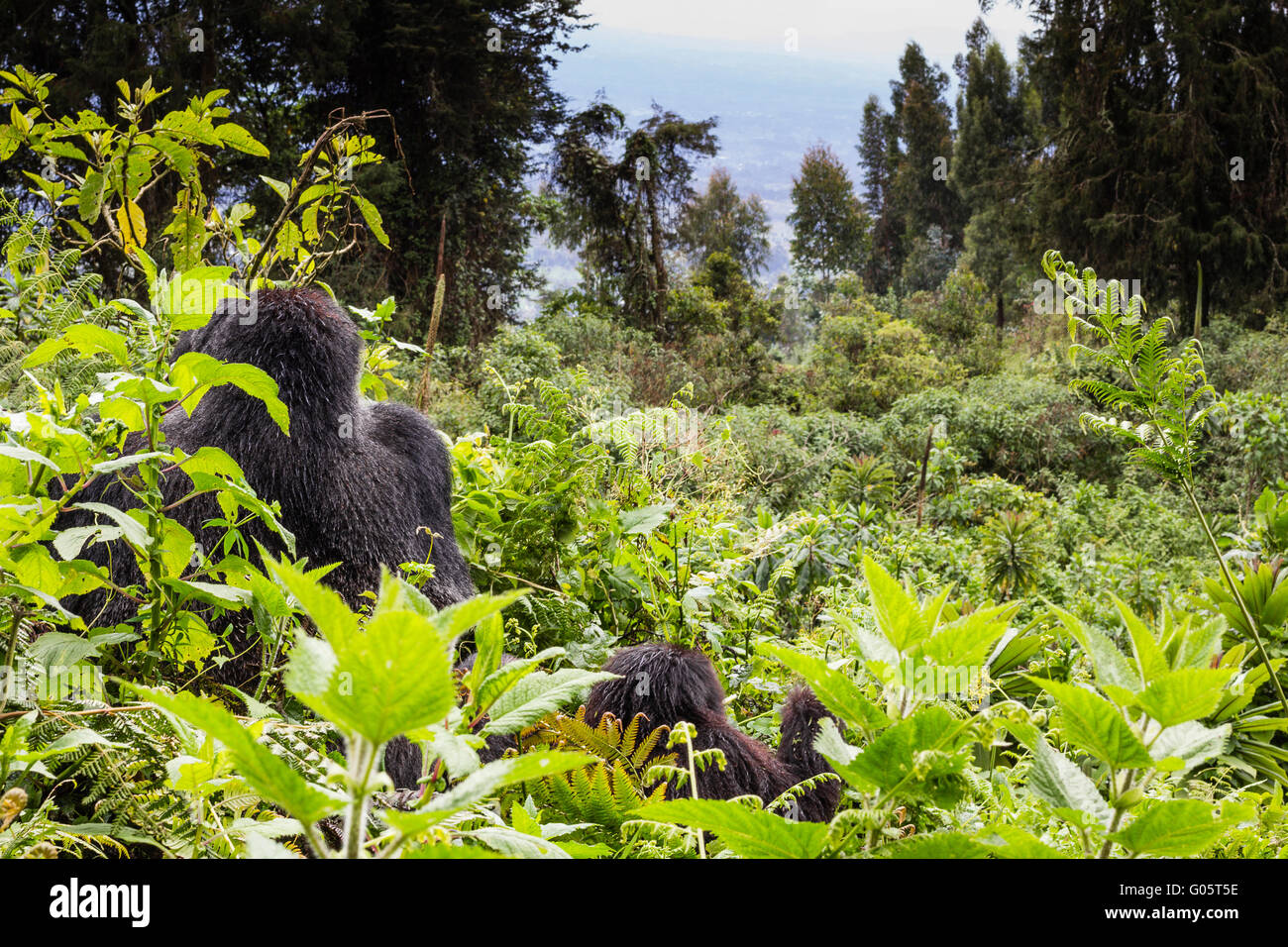VOLCANOES NATIONAL PARK, RWANDA A male silverback mountain gorilla (gorilla berengei berengei) and an infant look Stock Photo