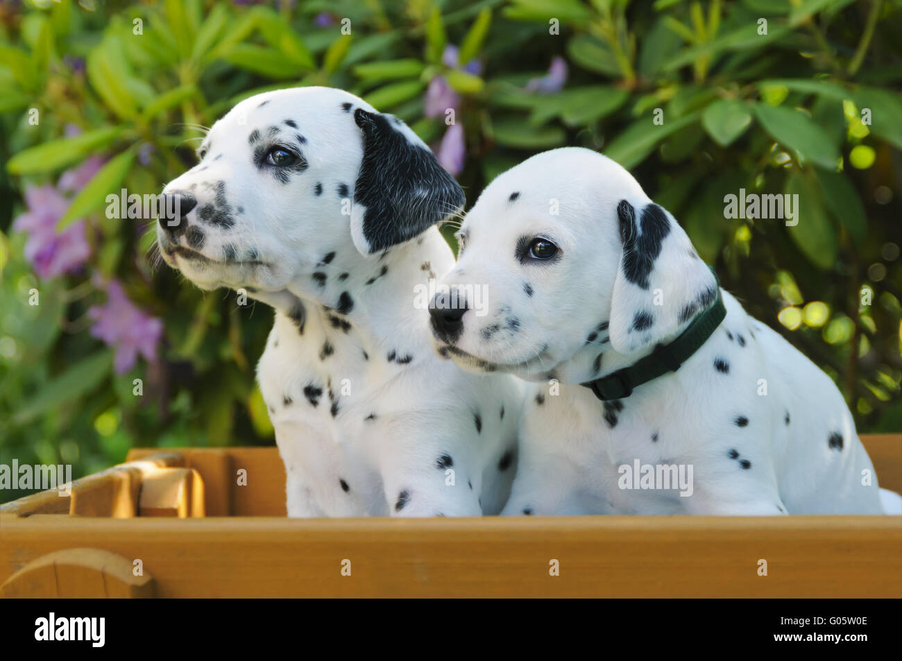 Two Dalmatian puppies, five weeks old side by side - Stock Image