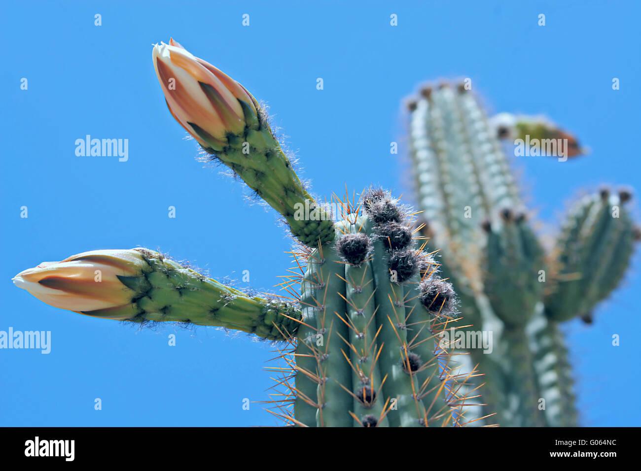 Cactus flourishes - Stock Image