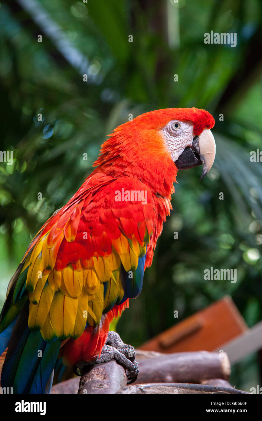 Bright red parrot Scarlet Macaw in Loro Parque Zoo Tenerife - Stock Image