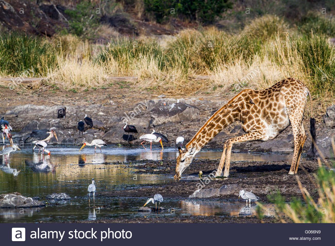 Giraffe in Kruger national park, South Africa ; Specie Giraffa camelopardalis family of Giraffidae - Stock Image