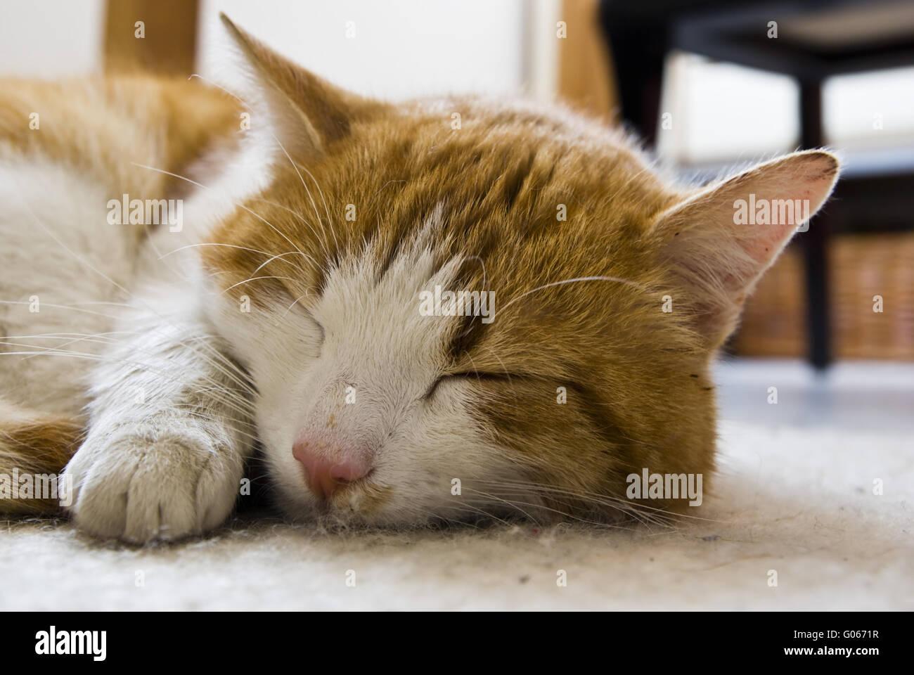 Sleeping house cat Stock Photo