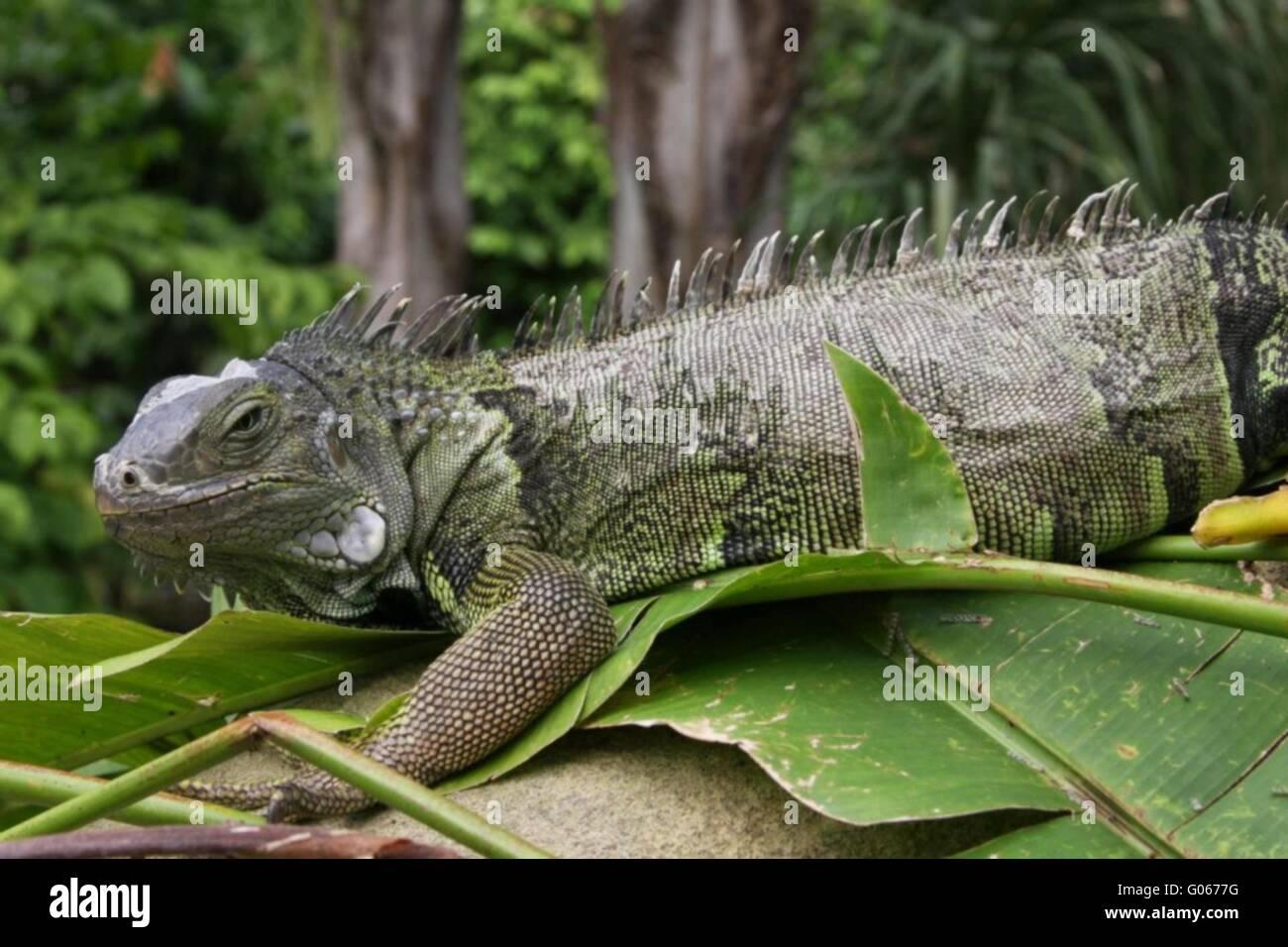 green iguanas Stock Photo