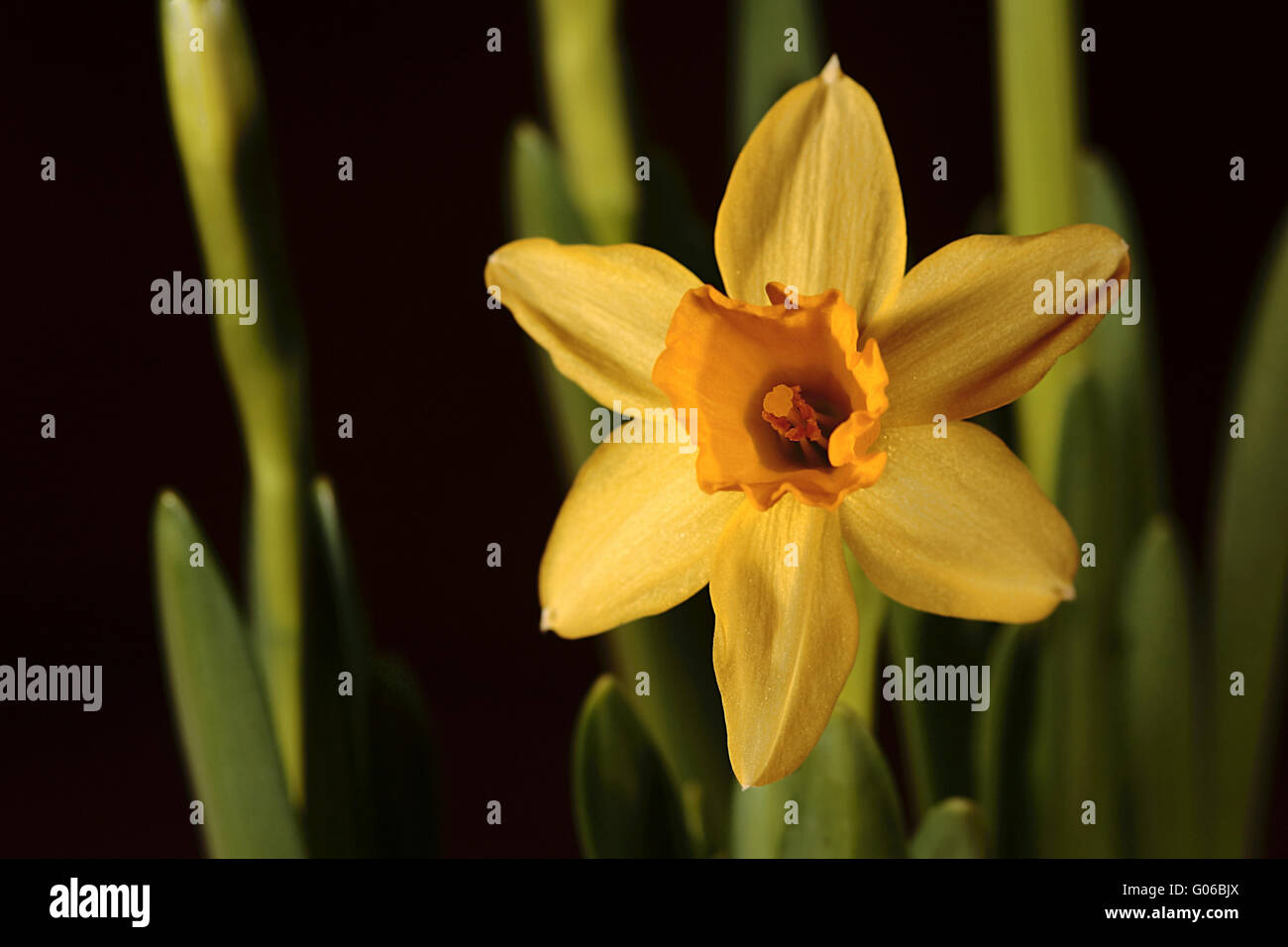 Yellow narcissus - Stock Image
