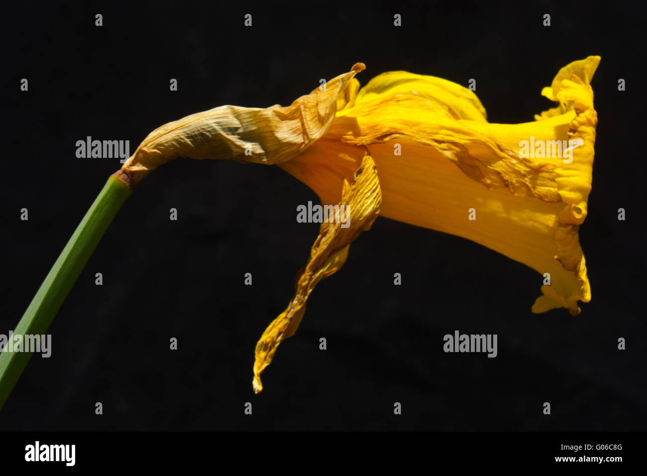 Daffodil Narcissus flower fading dead - Stock Image