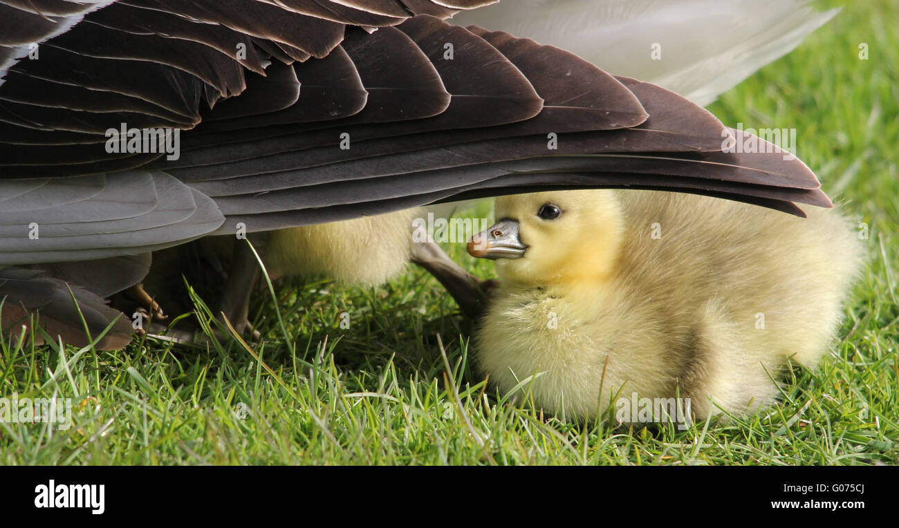 Sankt Peter-Ording, Germany. 27th Apr, 2016. A grey goose chick looks for protection by its mother a pen near Sankt - Stock Image