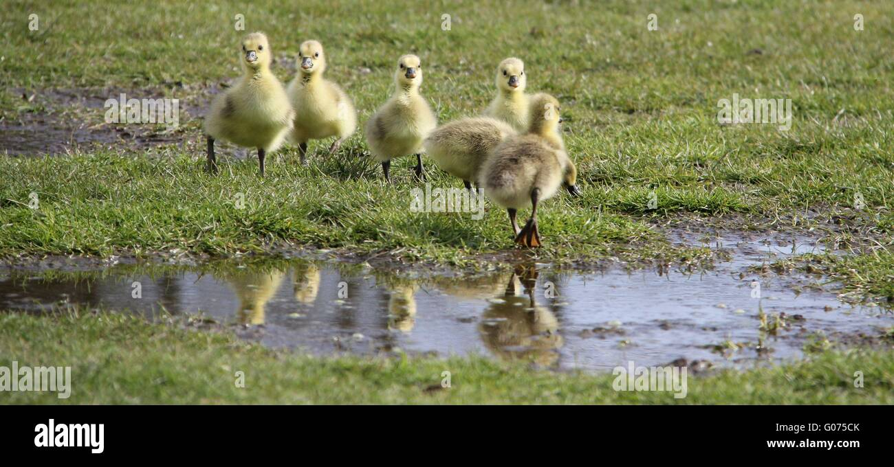 Sankt Peter-Ording, Germany. 27th Apr, 2016. Grey goose chicks walk through a pen near Sankt Peter-Ording, Germany, - Stock Image