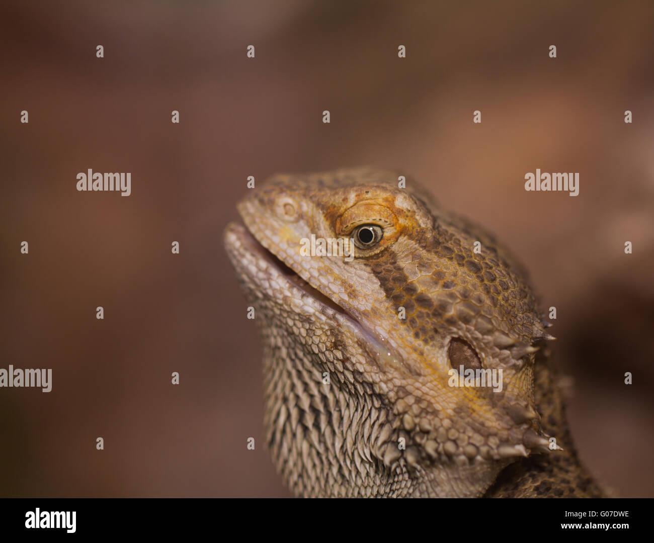 Close-up of Bearded dragons eye (Pogona vitticeps) - Stock Image