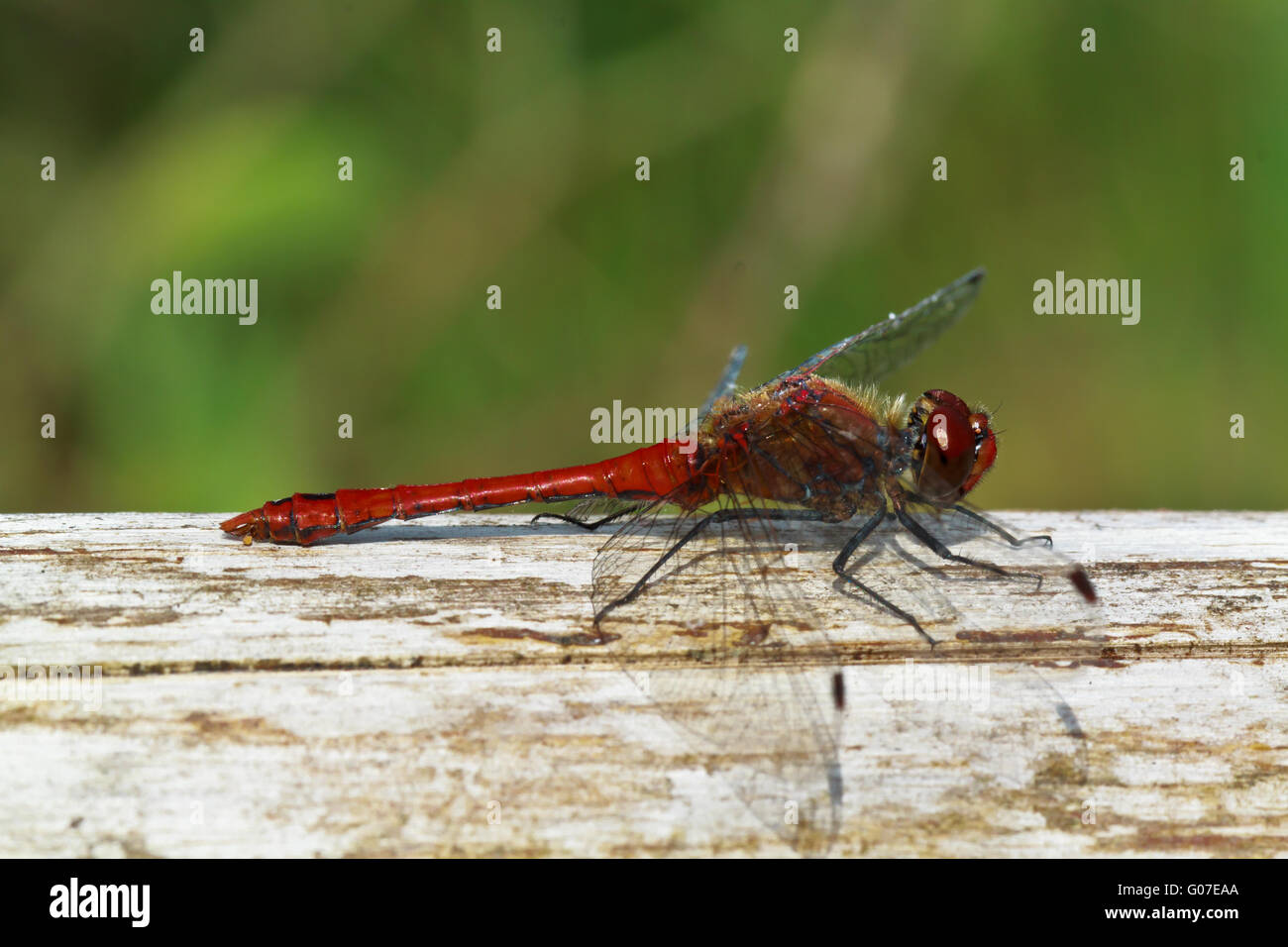 the dragonfly Stock Photo