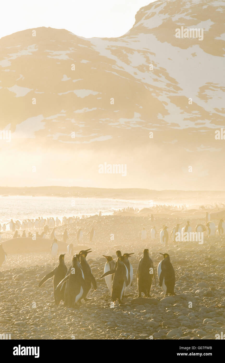 King Penguins (Aptenodytes patagonicus) Sunrise, Salisbury Plain, Bay of Isles, South Georgia - Stock Image