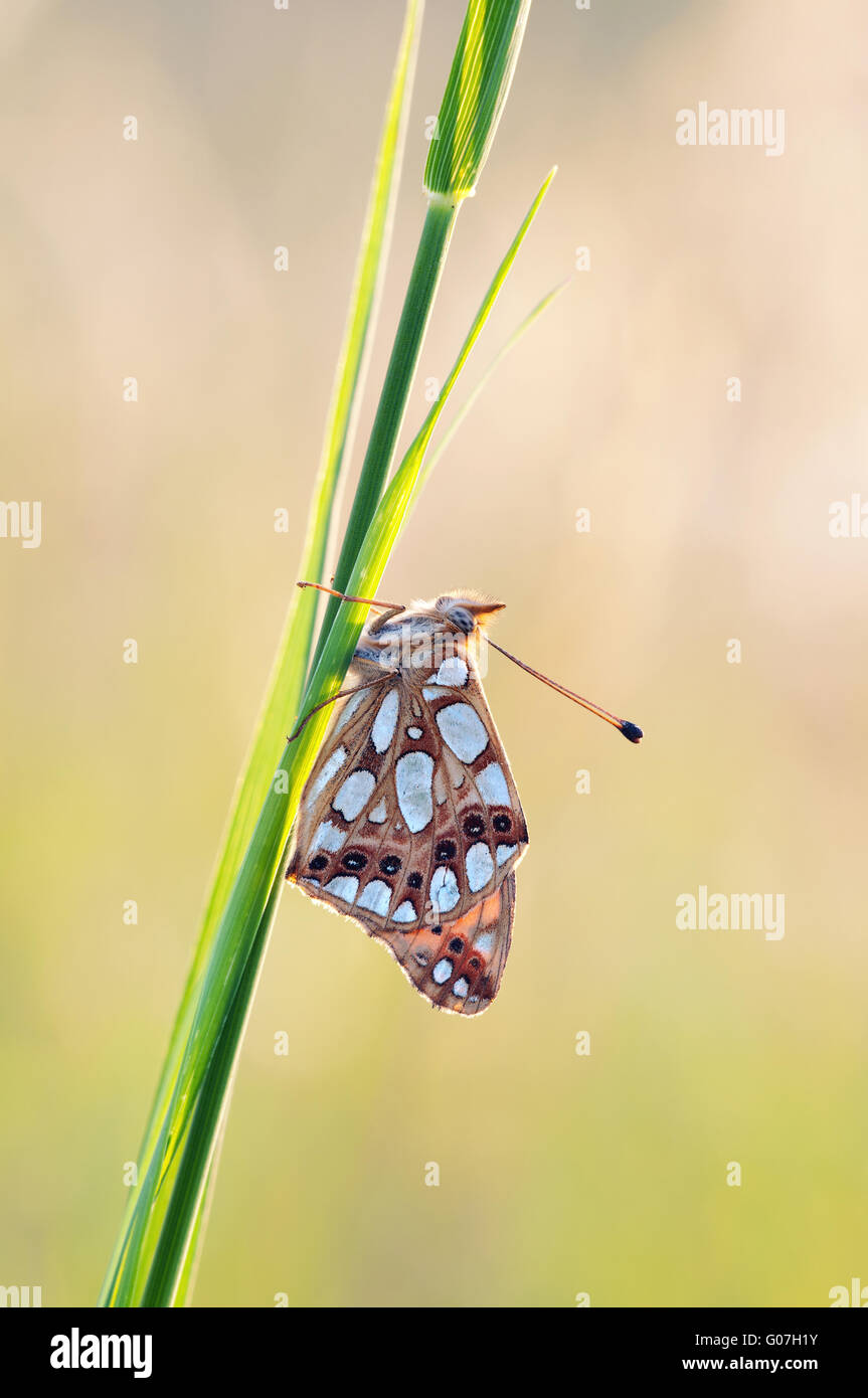 Queen of Spain fritillary - Stock Image