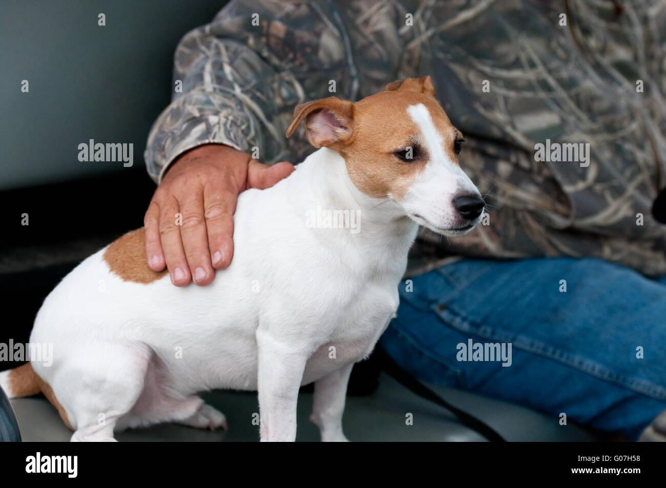 Jack Russell Terrier, mans best friend - Stock Image