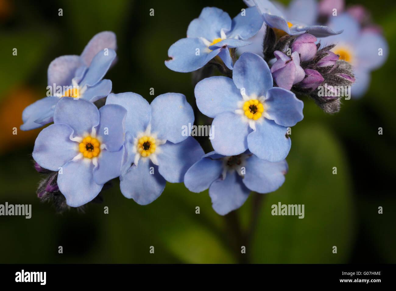 Forget-me-not flowers. Wild British flower. Myosotis sylvatica. UK Spring. Springtime flower. Stock Photo