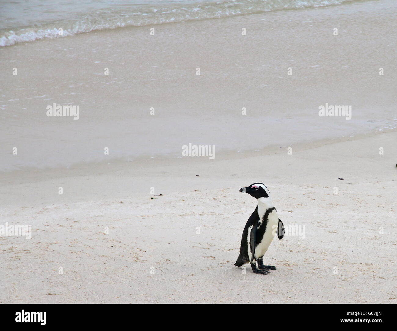 Penguin in South Africa - Stock Image