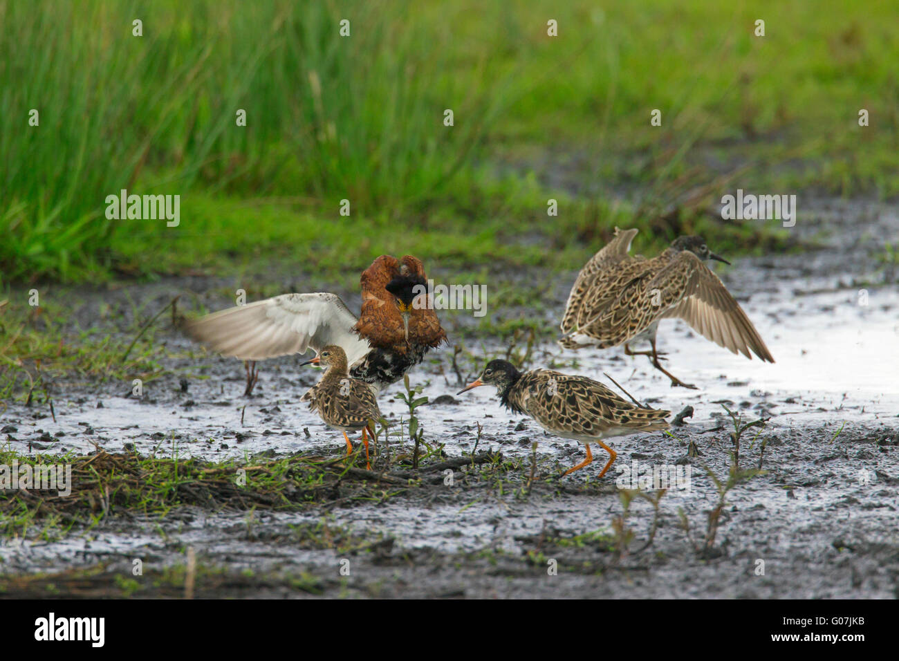 Ruff (Philomachus pugnax) male displaying in front of females at lek in wetland - Stock Image