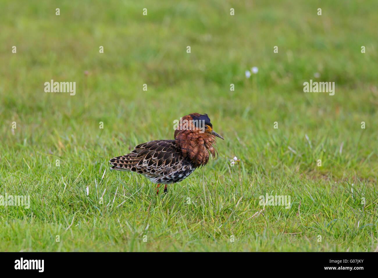 Ruff (Philomachus pugnax) male displaying in breeding plumage in meadow in spring - Stock Image
