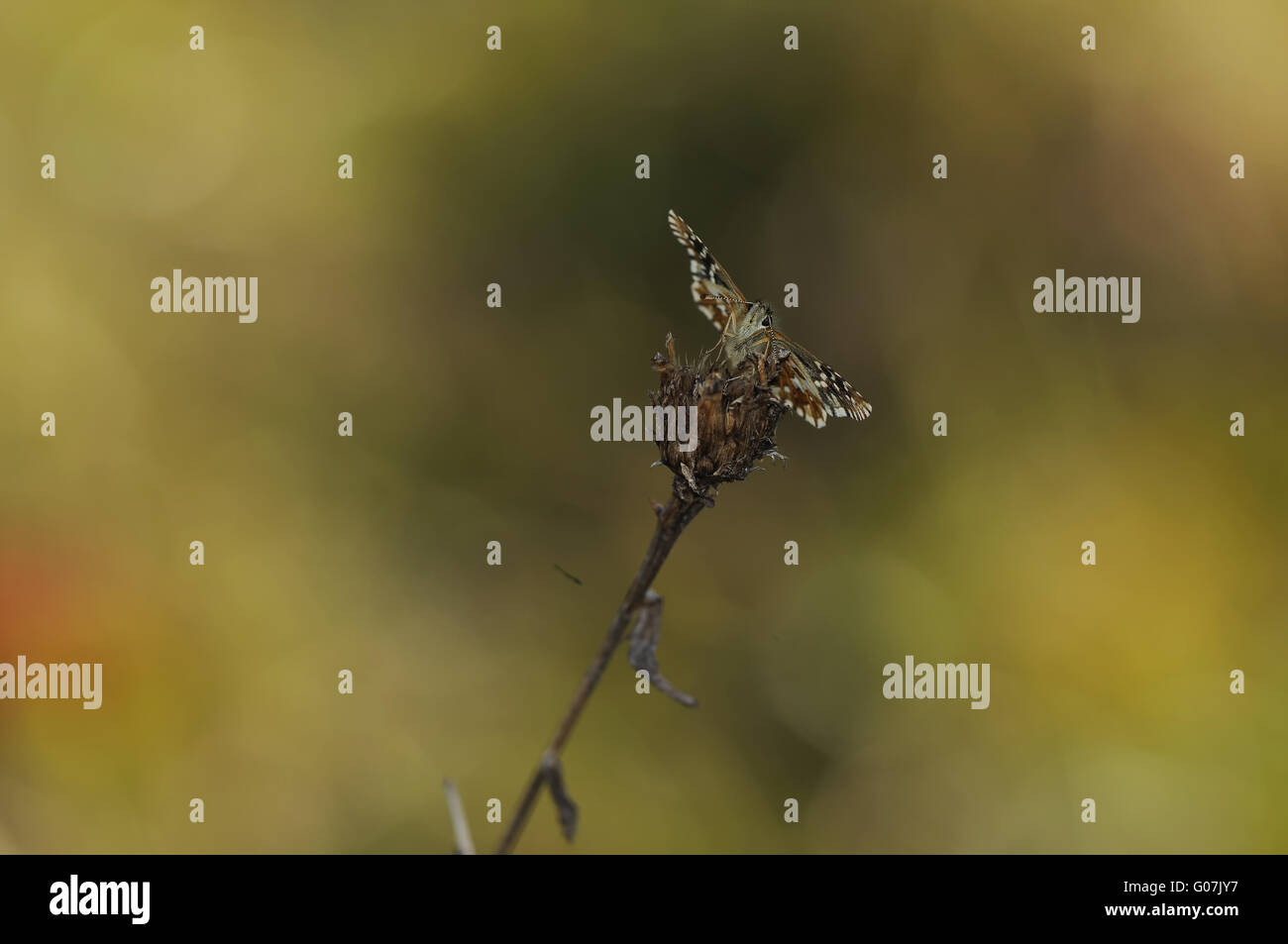grizzled skipper - Stock Image