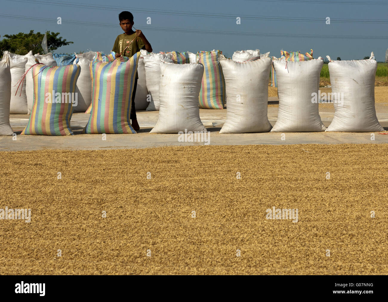 Drying of rice on the ground before re-packing it, Stock Photo