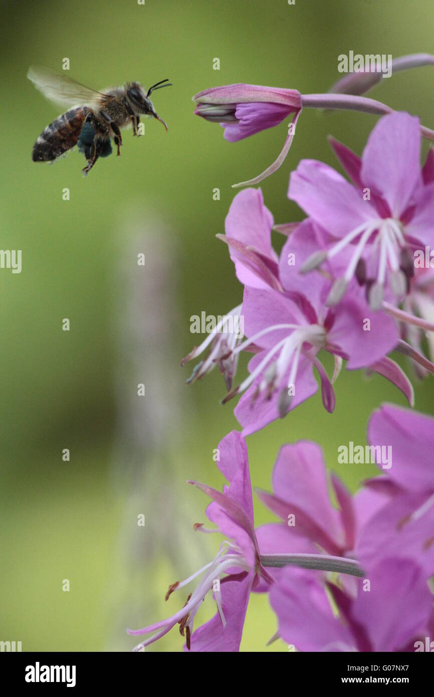 Bee flying to willowherb Stock Photo