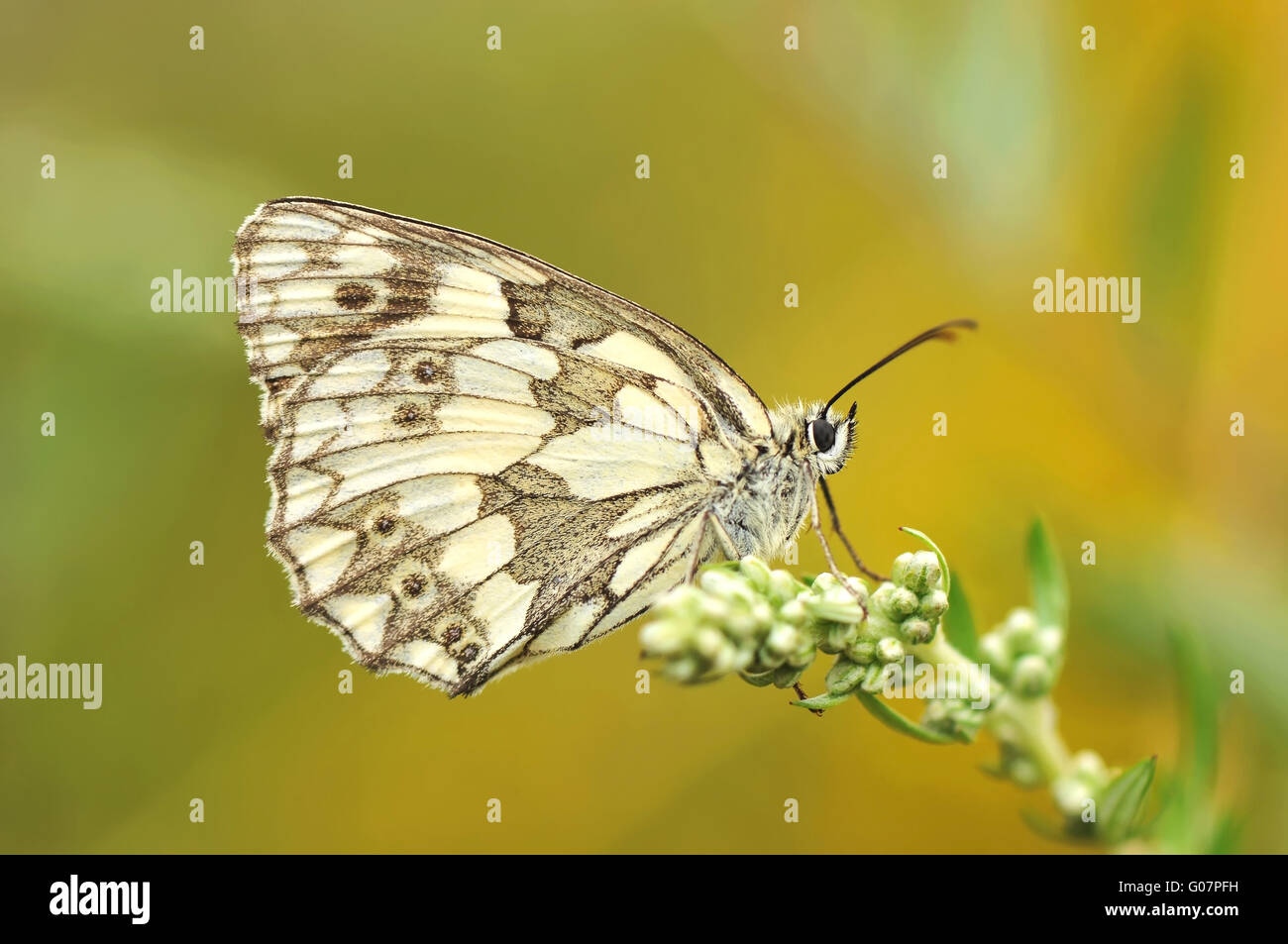 marbled white on plant - Stock Image