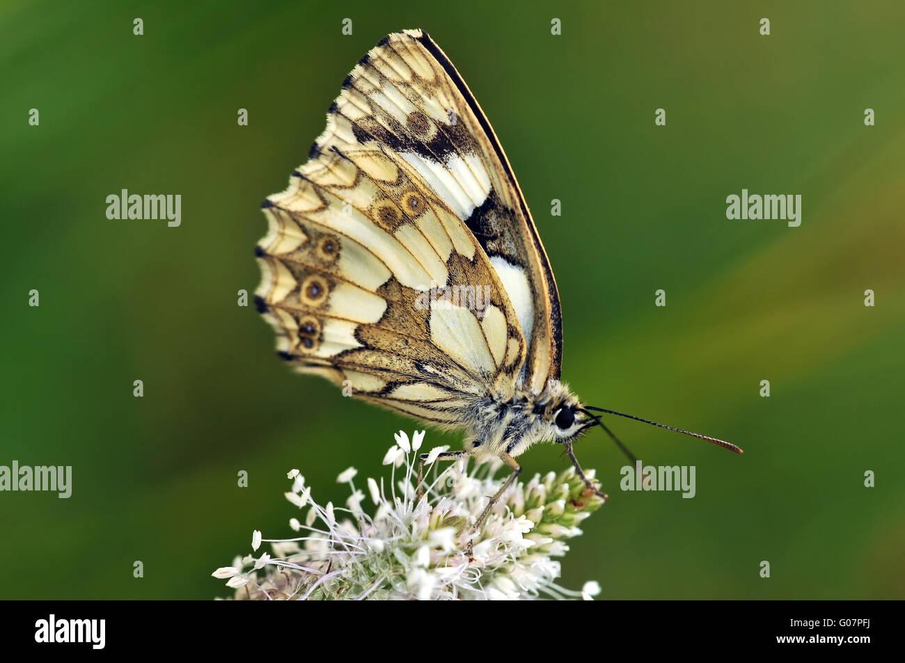 marbled white on ribwort plantain - Stock Image