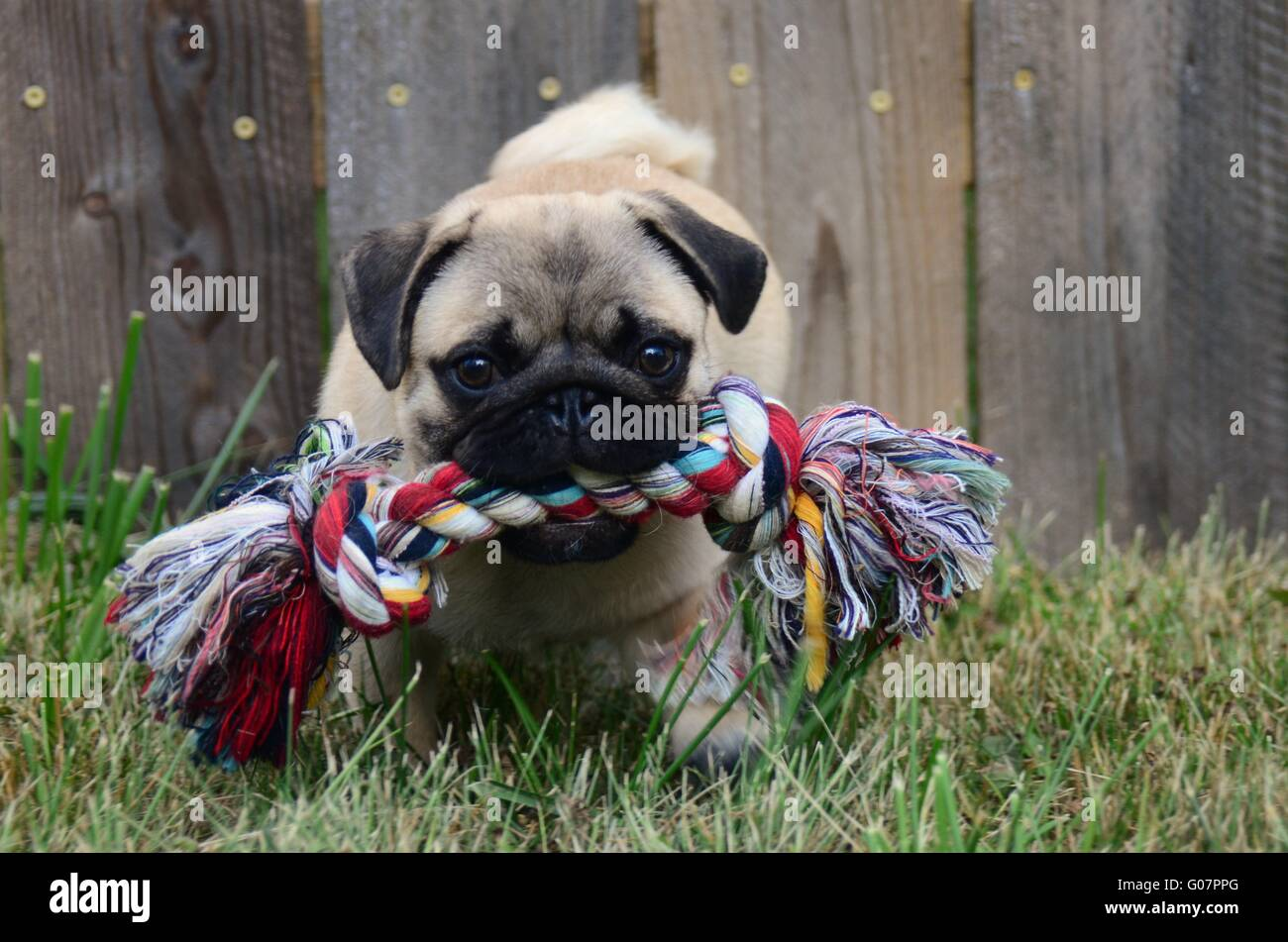 pug playing in the grass with a chew toy - Stock Image