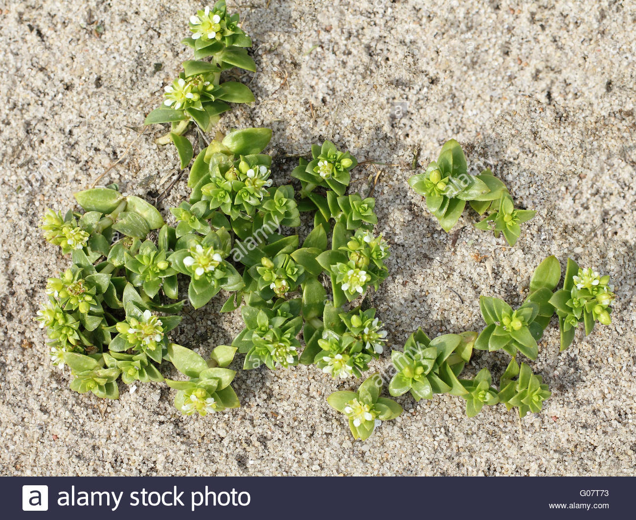 Blossoms of Sea Sandwort on the beach, Honckenya - Stock Image