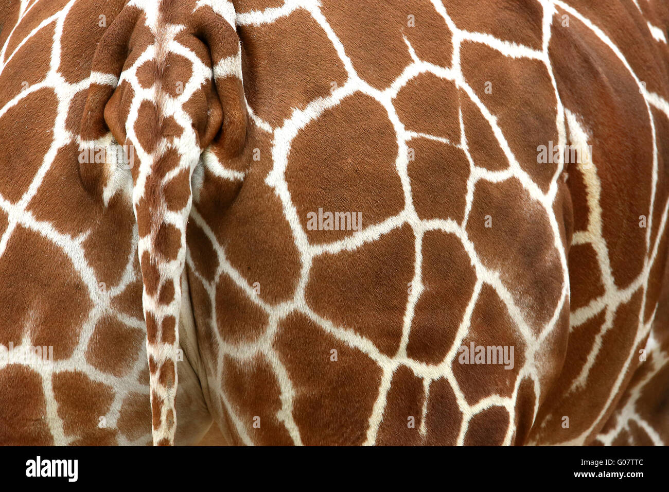 RETICULATED GIRAFFE - Stock Image