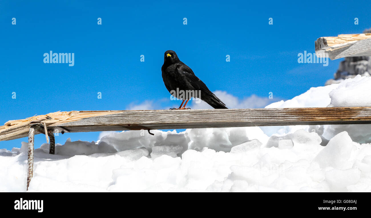 Black Raven on an wooden plank - Stock Image